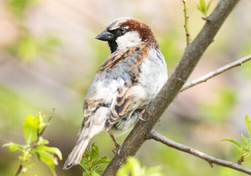 Vrabie de casă (Passer domesticus)