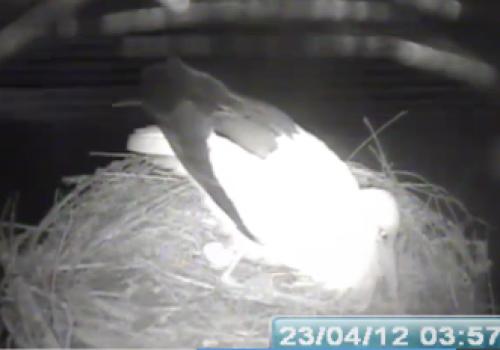 Primul ou în cuibul de barză