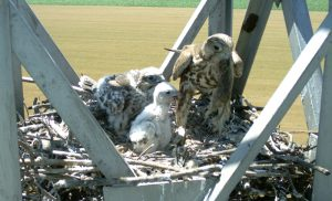 The female feeds the chicks with European Ground Squirrels brought by Toro, the male