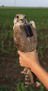 Toro, the second Romanian Saker Falcon tagged with satellite transmitter ever