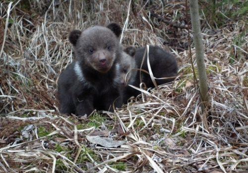 Pui de urși orfani găsiți și luați în îngrijire