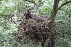 Lesser Spotted Eagle nest with two chicks on sycamore tree (Vidacut)