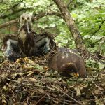 Primul cuib cu doi pui de acvilă țipătoare mică din România