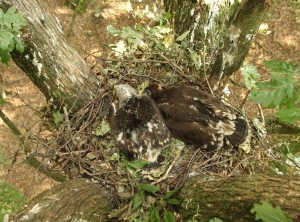 Nest with two Lesser Spotted Eagle chicks near Gălățeni