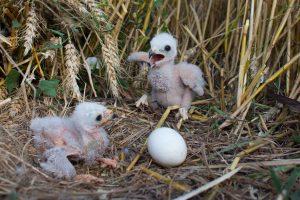 / Puii și un ou