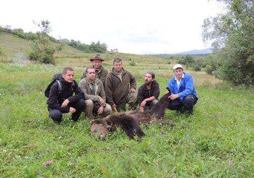 Ursoaică adultă salvată din lațul braconierilor