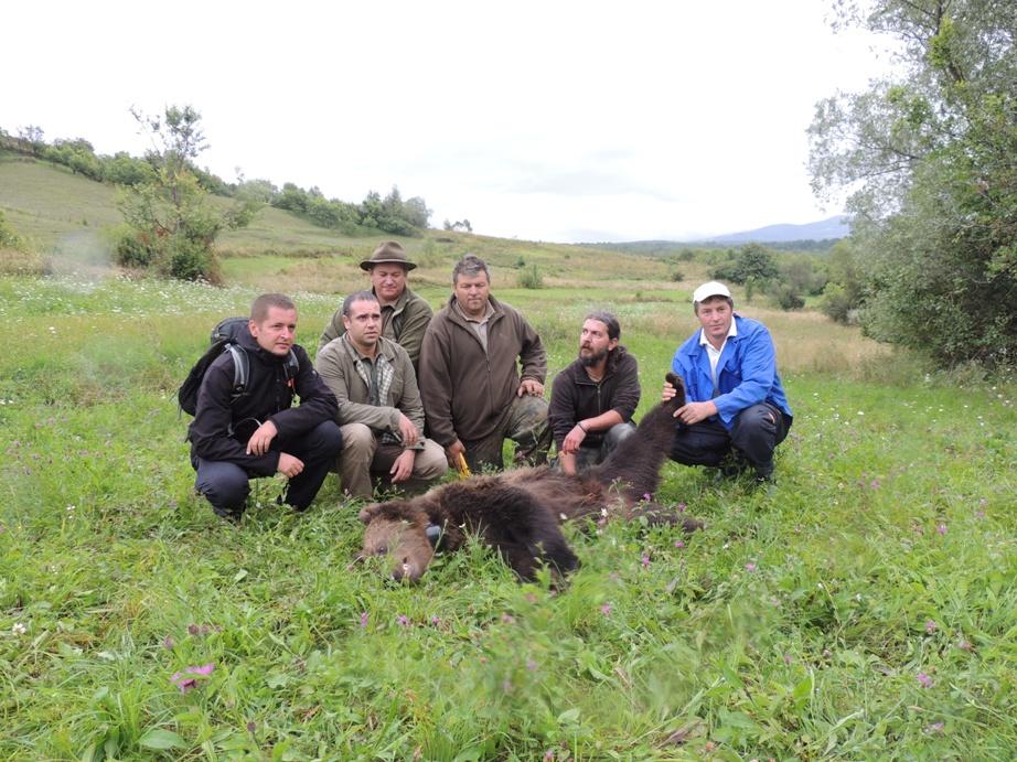 Read more about the article Ursoaică adultă salvată din lațul braconierilor