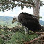 Saving a Golden Eagle chick