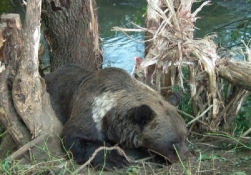 Încă o ursoiacă salvată din lațul braconierilor