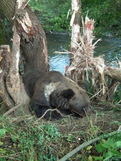 Read more about the article Încă o ursoiacă salvată din lațul braconierilor
