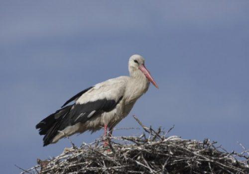 Fehér gólya – a természetvédelmi területek nagykövete
