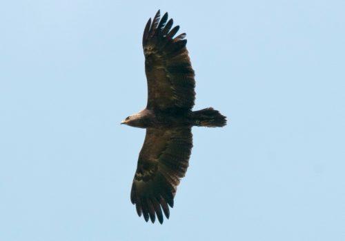 Idén több mint 60 békászó sas (Aquila pomarina) fészket ellenőriztek le