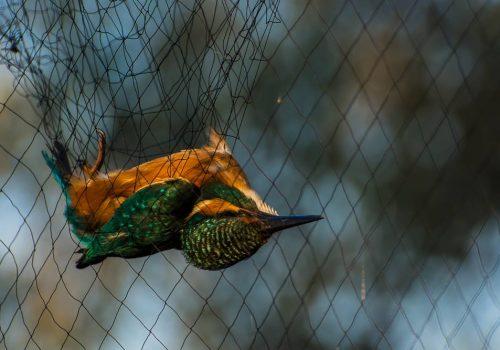 Păsări rare observate în Tabăra de inelare de pe Grindul Chituc