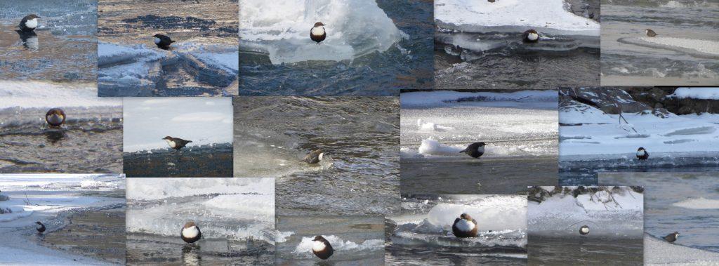 Read more about the article Nu rata o aventură de iarnă – numărătoarea pescărelului!