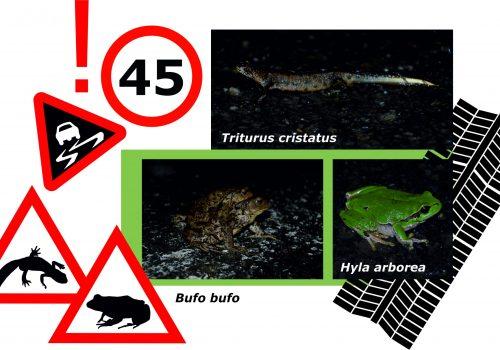 Atenție: amfibieni în migrație! Cerem amplasarea de indicatoare de avertizare!