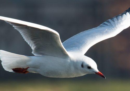 Sumarul recensământului Internațional al Păsărilor de Apă din 2020