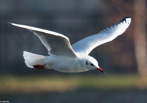 Recensământul Internațional al Păsărilor de Apă, Ianuarie 2019