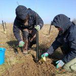 Több mint 3000 nyárfacsemetét ültettünk