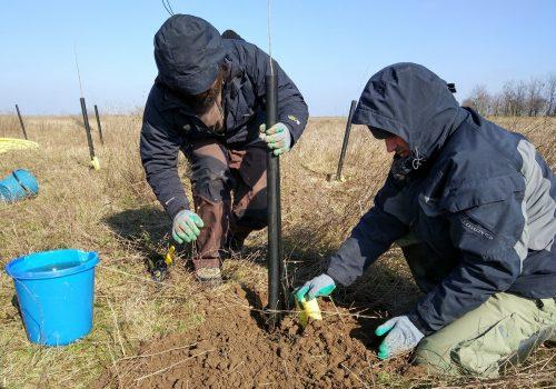 Peste 3000 de puieți de plopi plantați