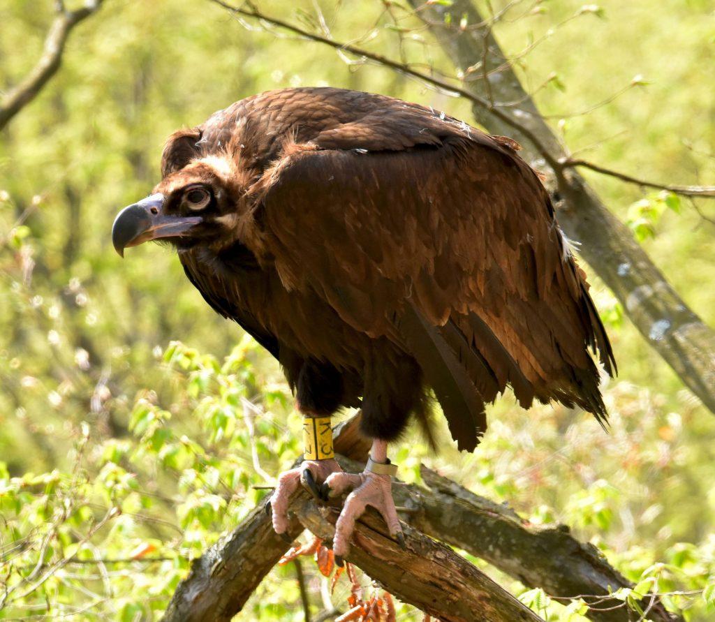 Vulturii negri, doar într-o scurtă vizită în România