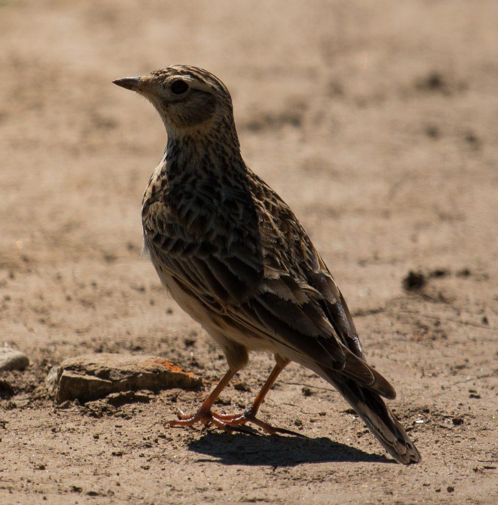 Read more about the article Ciocârlia de câmp, sturzul viilor, rața cu capul negru și rața sunătoare au scăpat de vânătoare începând de azi