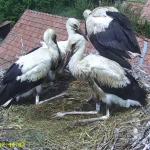 Gyűrűs gólyák