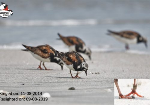 We successfully completed the sixth consecutive ringing season on Chituc Spit!