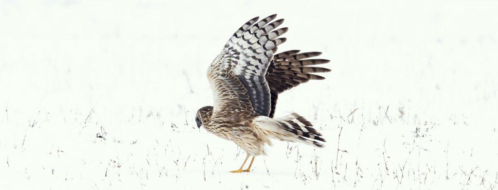 Read more about the article Participați în Programul de monitorizare a efectivelor de iernare a păsărilor răpitoare!