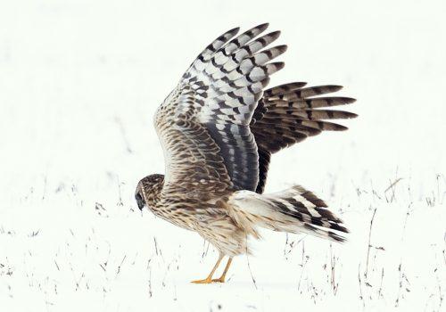 Participați în Programul de monitorizare a efectivelor de iernare a păsărilor răpitoare!