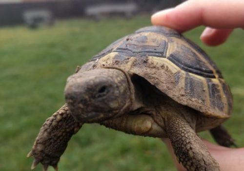 Țestoasele la iernat