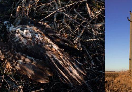 Több száz gyilkos oszlop vált madárbaráttá