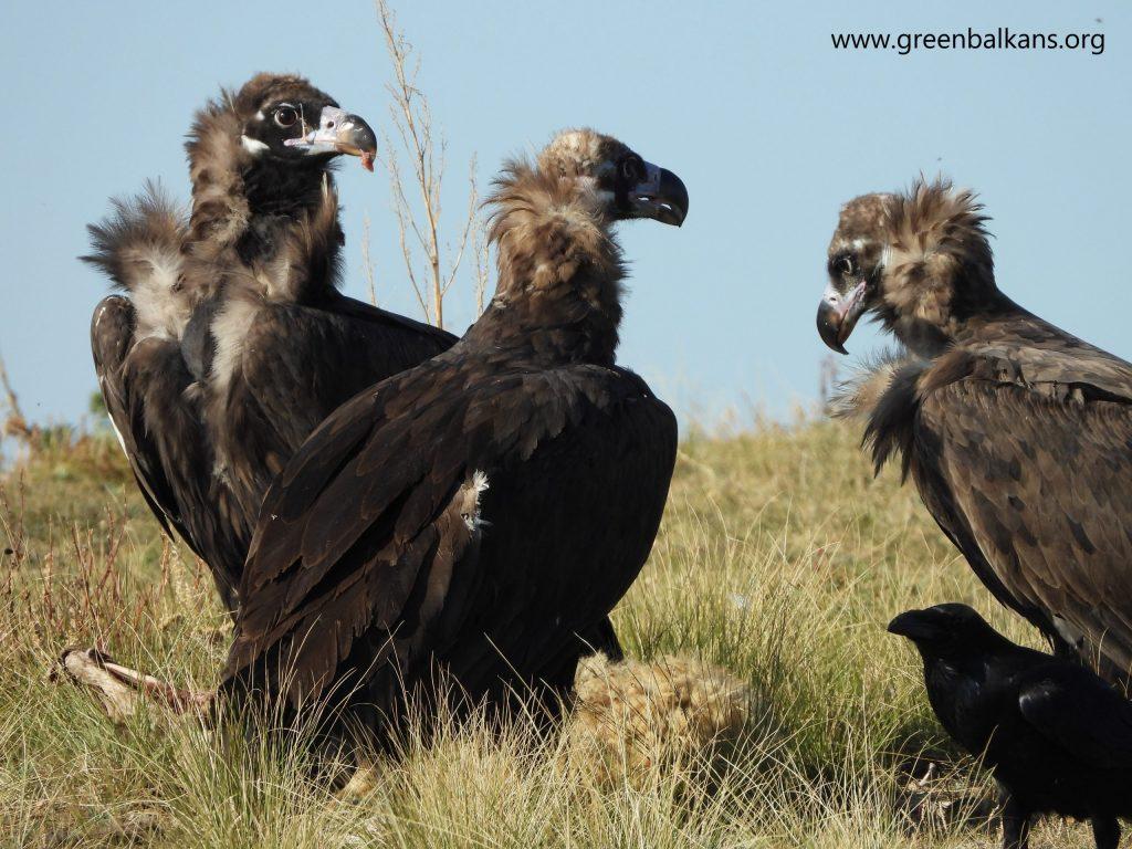 O nouă vizită a vulturilor negri în România