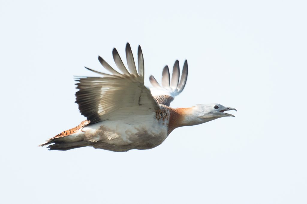 Read more about the article EXCLUSIVE: Great Bustard nest found in Romania!