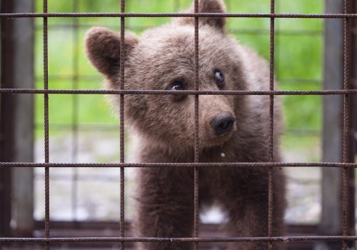 Salvarea unui pui de urs orfan