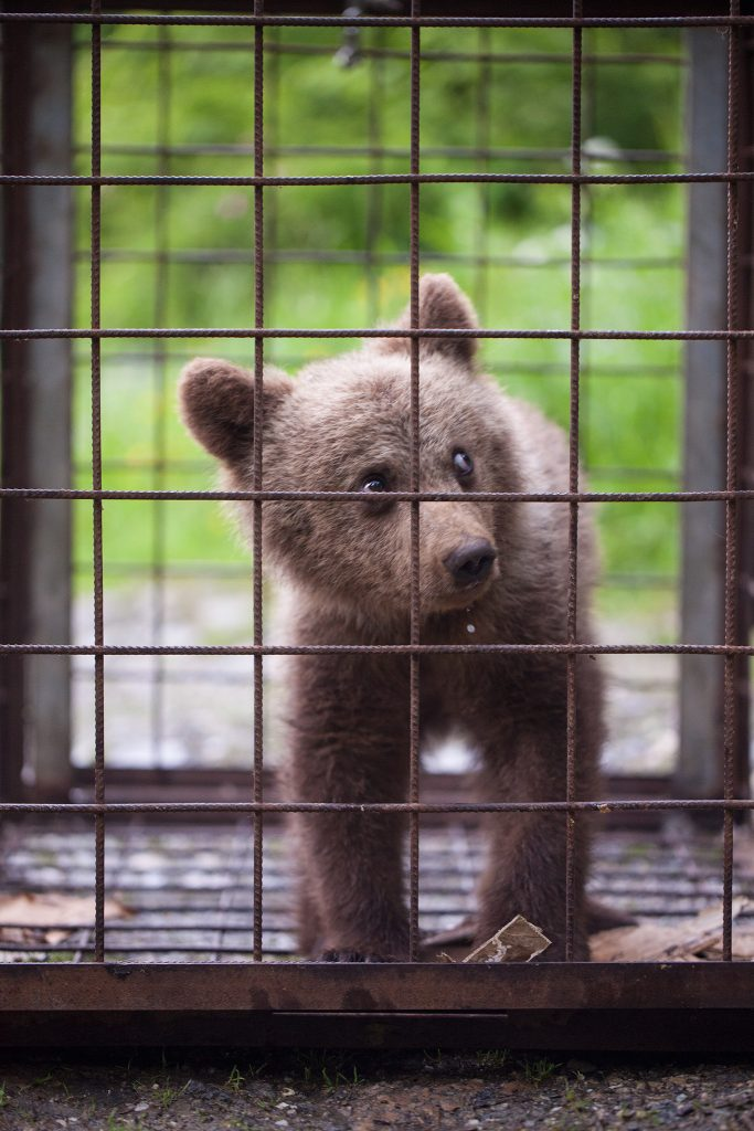 Read more about the article Rescuing an orphaned bear cub