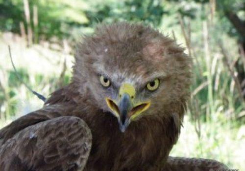 Békászó sas (Aquila pomarina)