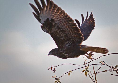 Participați în Programul de monitorizare al efectivelor de iernare a păsărilor răpitoare!
