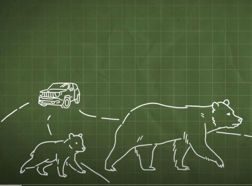 Read more about the article Medve Tények – 7. rész:  A medvék és az utak