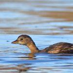 Numărătoare de iarnă a păsărilor de apă – 2021