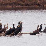Rezultatele Recensământul de iarnă al păsărilor acvatice din 2021
