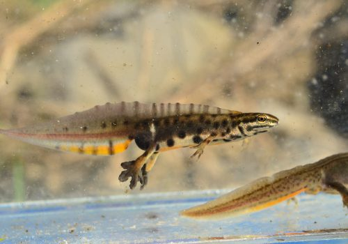 Râul Mureș, paradisul pierdut al amfibienilor