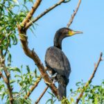 Monitorizarea coloniilor de păsări ihtiofage din Situl de Cercetări Socio–Ecologice de Lungă Durată Insulele Brăilei